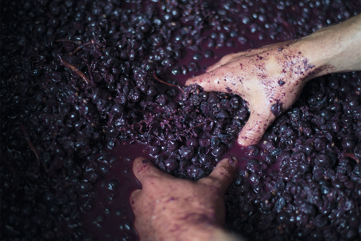 Franco Conterno | La vendemmia e la fermentazione